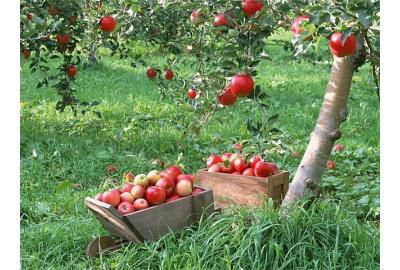 Обрезка фруктовых деревьев. Яблони.