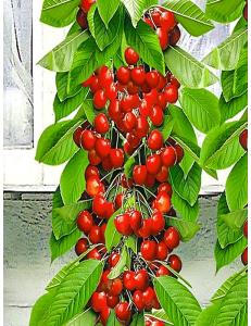 Колоновидная черешня Красная помада из Крыма
