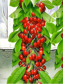 Саженцы колоновидной черешни Красная помада из Крыма