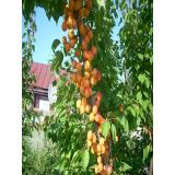 Колоновидный абрикос Первайс из Крыма