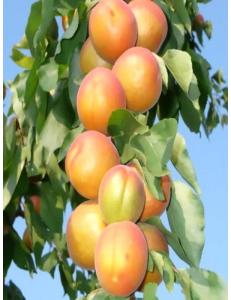 Колоновидный абрикос Радости жизни из Крыма