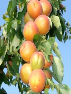 Саженцы Колоновидного абрикоса Радости жизни из Крыма