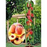 Колоновидный персик Медовый из Крыма