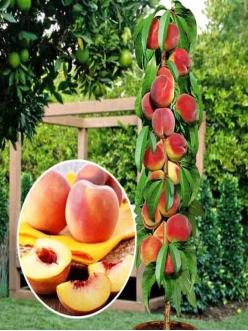 Саженцы Колоновидного персика Медовый из Крыма