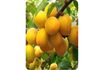 Как посадить саженцы абрикоса