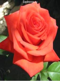Саженцы Роз Аве Мария
