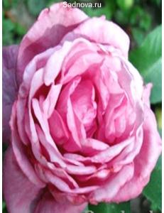 Роза Блю Парфум