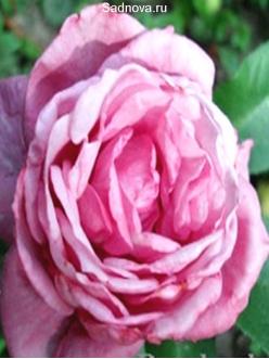 Саженцы Роз Блю Парфум