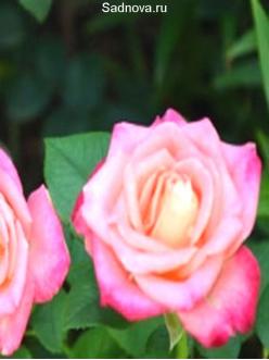 Саженцы Роз Лампион