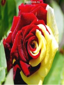 Саженцы Чайно Гибридных Роз Родео - Rodeo