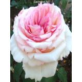 Роза Сувенир Баден-Бадена