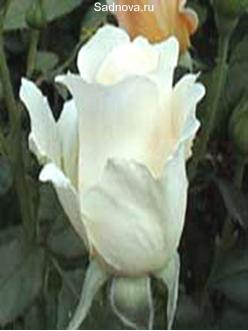 Саженцы Роз Вирго