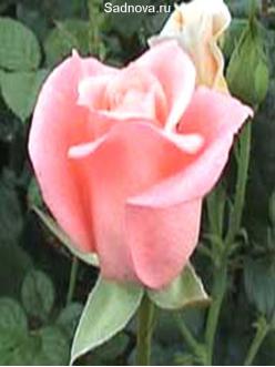 Саженцы Роз Вивальди