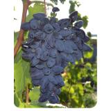 Виноград Викинг из Крыма
