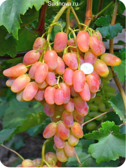 Саженцы Винограда Пысанка из Крыма