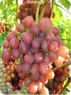 Саженцы Винограда Ливия из Крыма