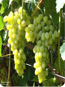 Саженцы Винограда Плевен Устойчивый из Крыма