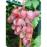 Виноград Виктория из Крыма