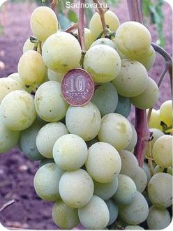 Саженцы Винограда Кеша-2 из Крыма