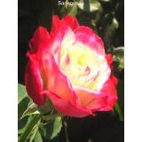Роза Дабл Дилайт из Крыма