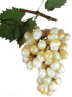 Саженцы Винограда Италия из Крыма