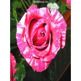 Роза Сатина из Крыма