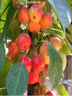 Саженцы Яблони Райская яблоня из Крыма