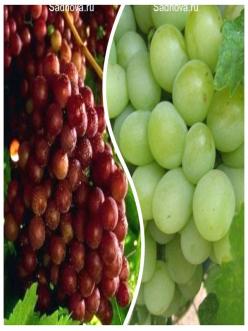 Комплект саженцев из 2-х сортов из Крыма -  Виноград Граф Монте Кристо + Виноград Александрит