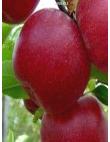 Яблоня Джонатан из Крыма
