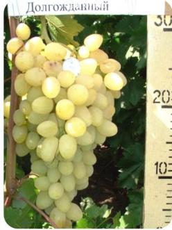 Саженцы Винограда Долгожданный из Крыма