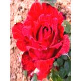 Роза Ред Интуишн из Крыма