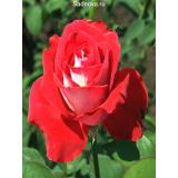 Роза Луксор из Крыма