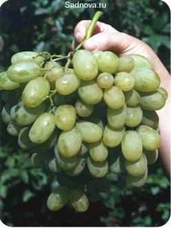 Саженцы Винограда Новый Подарок Запорожью из Крыма