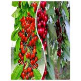 Комплект из 2-х сортов из Крыма - Колоновидная черешня Красная помада + Колоновидная черешня Квин Мери