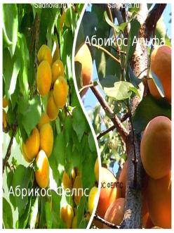 Комплект саженцев из 2-х сортов из Крыма -  Абрикос Альфа + Абрикос Фелпс