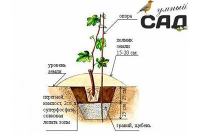Как посадить виноград саженцами