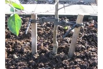 Как правильно подвязать саженцы деревьев