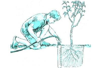 как  поливать саженцы