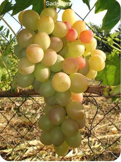 Саженцы Винограда Лия