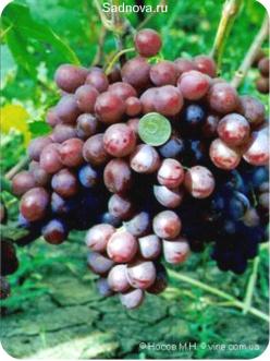 Саженцы Винограда Нина из Крыма