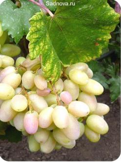 Саженцы Винограда Преображение