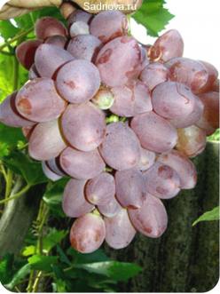 Саженцы Винограда Прометей из Крыма