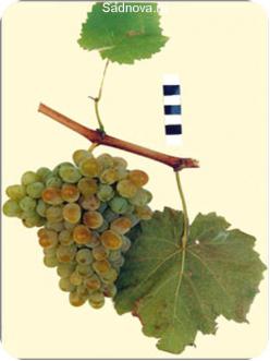 Саженцы Винограда Сашенька