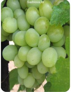 Виноград Александрит